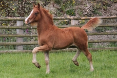 abergavenny_welsh_dancer_filly01