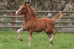 abergavenny_welsh_dancer_filly02