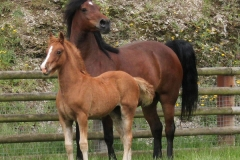 abergavenny_welsh_dancer_filly03